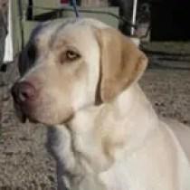 Champagne Labrador Retriever Puppies