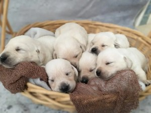 White lab puppies for sale