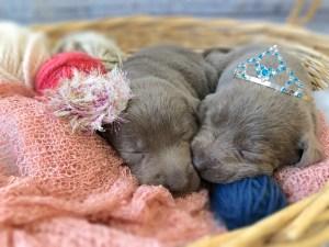 Adorable Lab Puppies