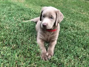 Available Lab Puppies | Charcoal, Silver and White Labs