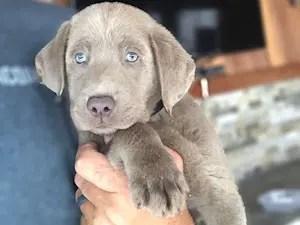 Silver Lab Puppy