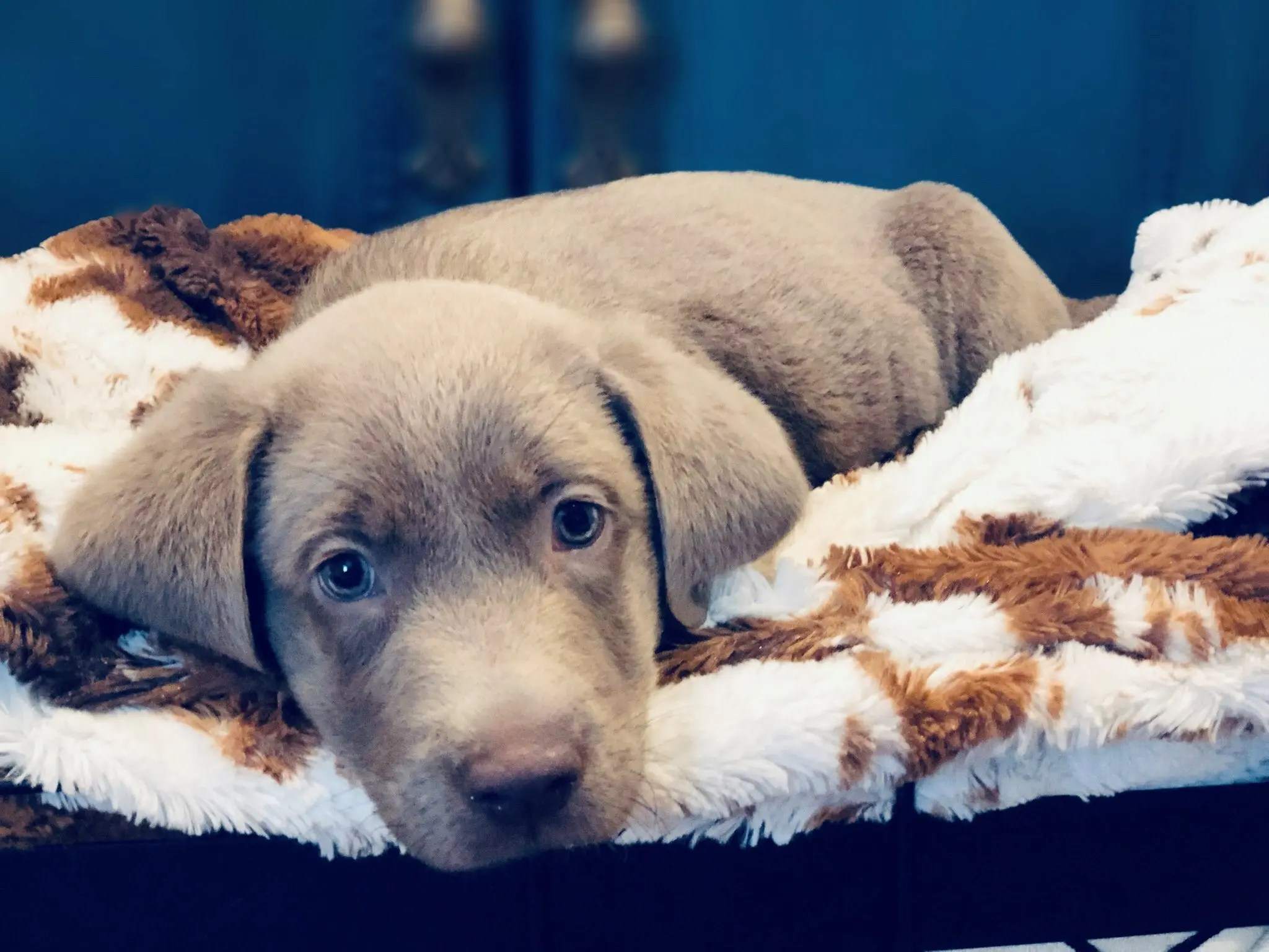 labrador-puppy-laying-down