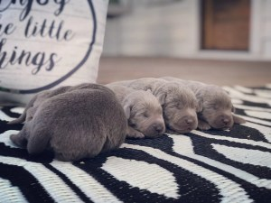Silver Lab Puppy Litter