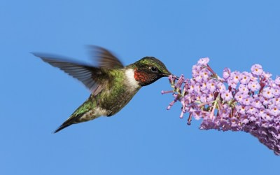 Attracting Butterflies and Hummingbirds