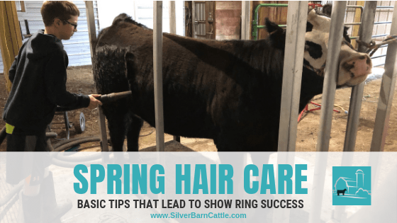 Beef Show Cattle Spring Hair Care