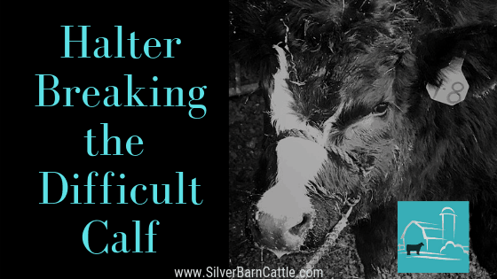 Halter Breaking the Difficult Calf