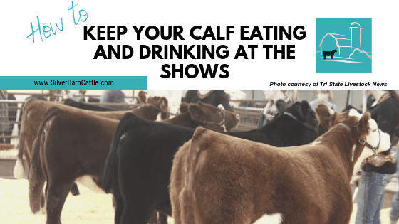 Tips to Keep Your Calf Eating and Drinking at Shows