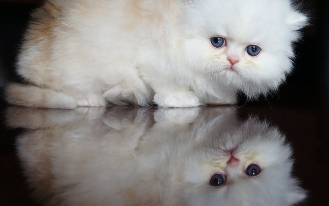 Red Cameo Tabby and white Persian Kitten Shifu (Adopted!)
