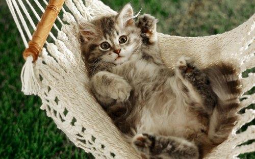 cat_in_a_hammock