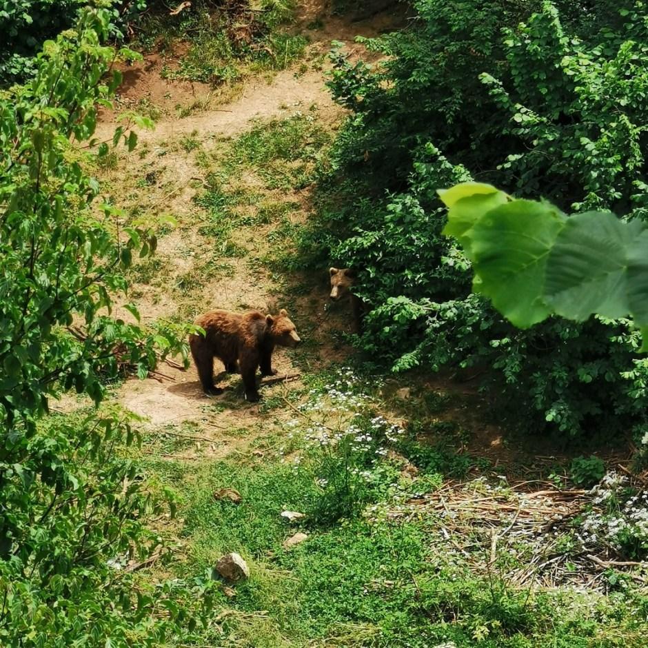Kuterevo, niedźwiedzie