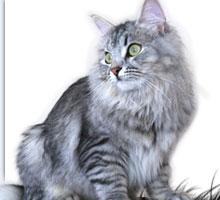 ... Siberian Kittens - Silver Siberian Cats - available siberian kittens