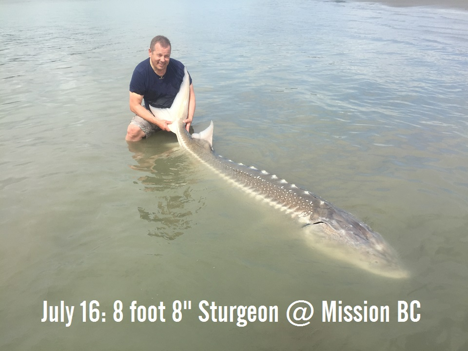 sturgeon, white sturgeon, bc sturgeon fishing, chilliwack sturgeon fishing, fraser river sturgeon fishing, mission sturgeon fishing, sturgeon fishing canada, sturgeon fishing fraser river guides, sturgeon fishing guides, sturgeon fishing charters