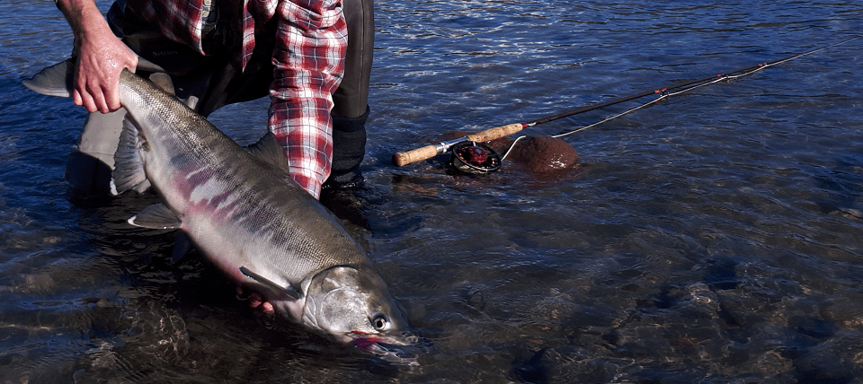 chum salmon, chum salmon bc, chum salmon fly fishing, salmon, salmon fishing bc