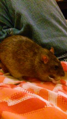 A brown rat eating something on the lap of a person in jeans and an orange patterned shirt.