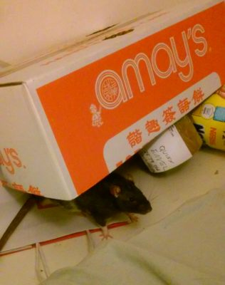 A white and black rat peeking out from a propped up box.