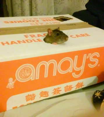 a rat poking zer head up from a hole cut out of  in half of a large cardboard box