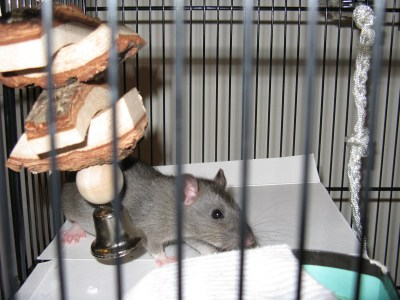 A young gray rat photographed through the bars of the cage