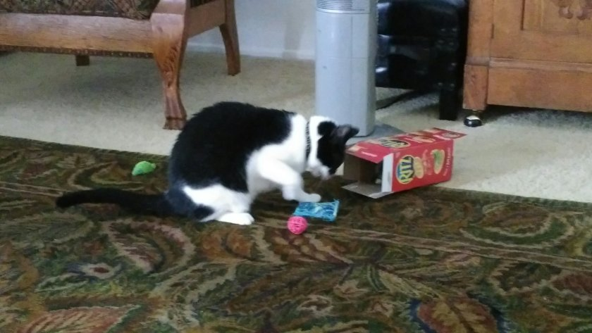 A black and white cat playing with a blue toy she's just pulled out of a cracker box