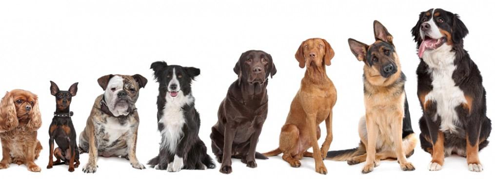 Top perros inteligentes y obedientes