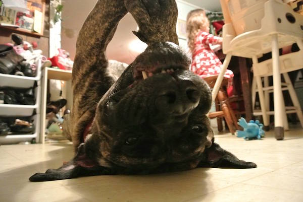 English mastiff, three stars