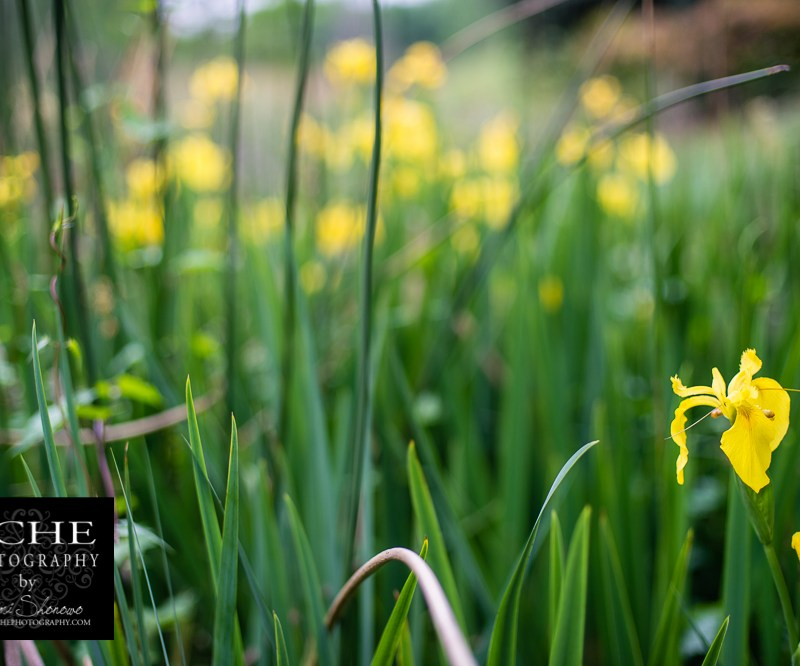 {day 98 project365 2015… river lilies}
