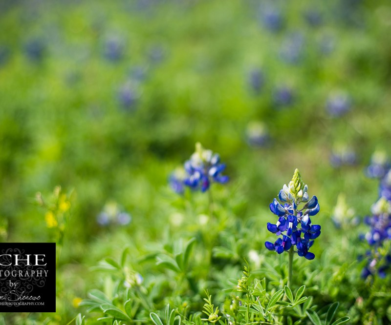 {day 075 project365 2016… bluebonnet rising}