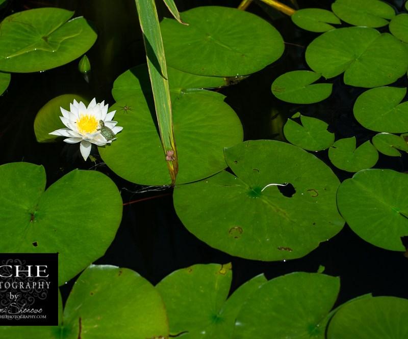 {day 105 project365 2016… lily pad habitat}