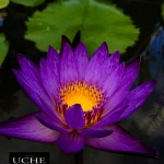{day 191 mobile365 2016… open lotus}