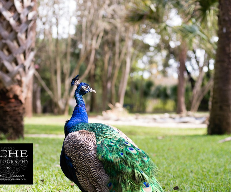 {day 315 project365 2016… peacock kingdom survey}