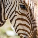 {zebra eye}