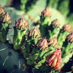 Prickly pear just about to bloom.