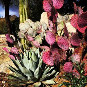 Agave, saguaro, and Santa Rita prickly pear at a development in the Santa Catalina foothills.