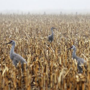 Sandhill cranes in a cornfield adjacent to the Platte River in central Nebraska.