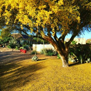 The palo verde trees were particularly riotous this spring.