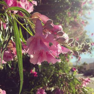 Desert willow blooms, with the Rincon Mountains in the distance.