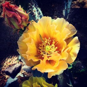 Santa Rita prickly pear blooms.