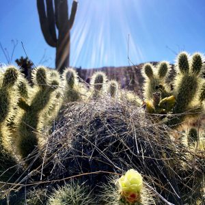 Cactus wren nest in blooming teddy bear cholla at Saguaro National Park East.