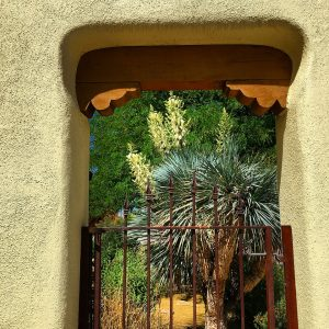 Blooming yucca behind a neighbor's welcoming gate.