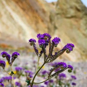 Lovely blooms in Death Valley, California.