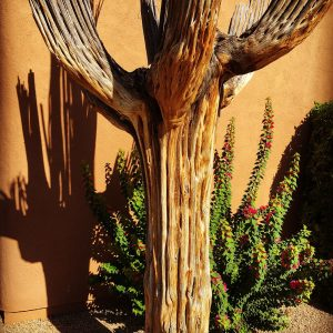 Saguaro skeleton and bougainvillea.