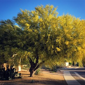 Palo verde in bloom, a majestic tree even if not very tall.