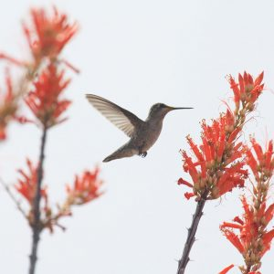 Hummingbird among ocotillo blooms at the Arizona-Sonora Desert Museum.