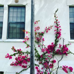Bougainvillea on a church in Santa Barbara, California.