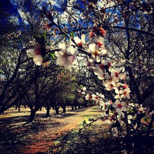 Blooming almond in an orchard outside Bakersfield, California, between storms.