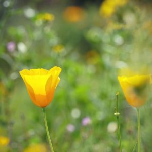Mexican gold-poppie blooms at Picacho Peak.