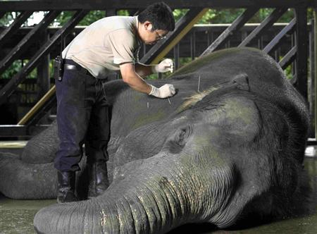 Acupuncture for Elephants!