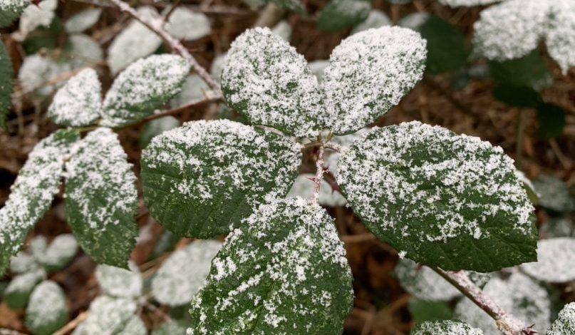 neige saupoudrée feuille mure