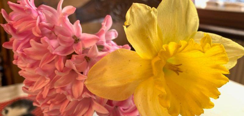 jonquille jacinthe poème printemps Ronnie