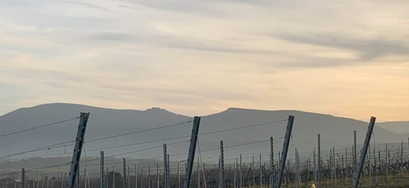 vigne vignoble Rosheim Mont Sainte Odile