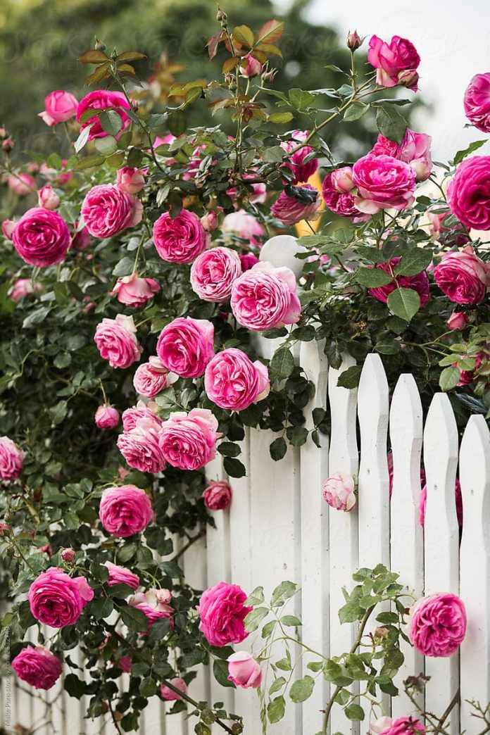 7.Simphome.com Outstanding Roses in White Fence 1